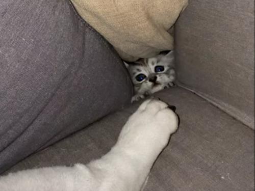 子猫が秘密の場所からブルドッグの足を狙う
