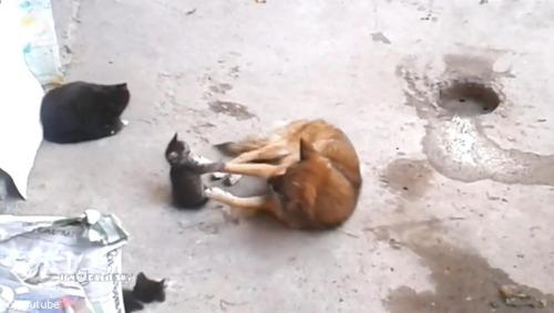 母猫が旧友の犬に会いにやって来た…子猫を連れて04