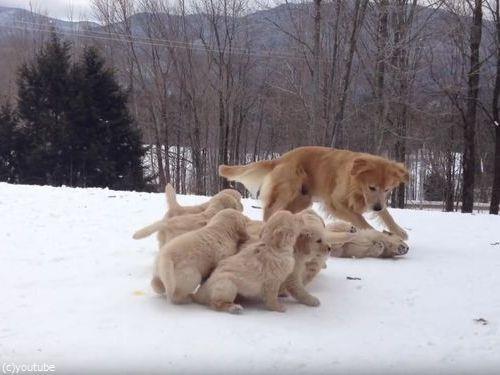 ママ犬とじゃれる子犬たち04