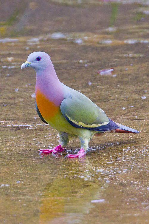 美しい鳥ムネアカアオバト