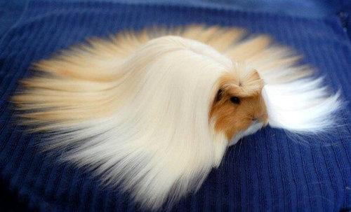 毛の長いモルモット01