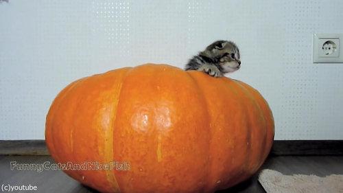 かぼちゃが猫ホイホイ01