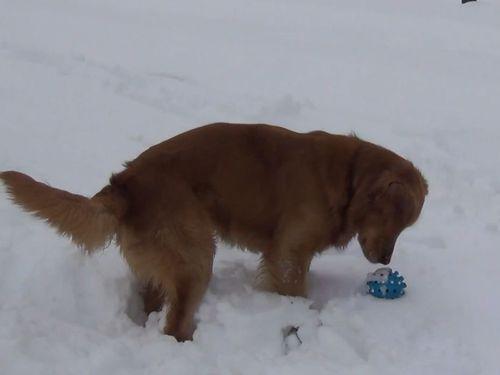 音が鳴るボールに混乱する犬01