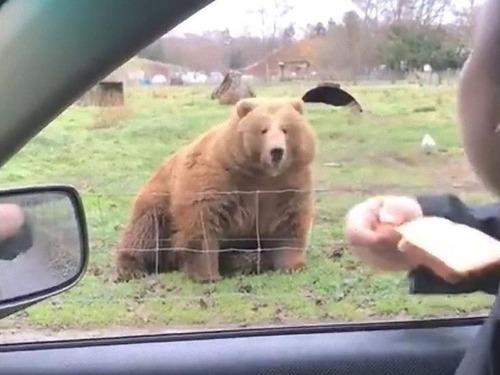 クマに食パンをフリスビーのように投げた01