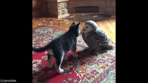 子犬とフクロウの愛情01