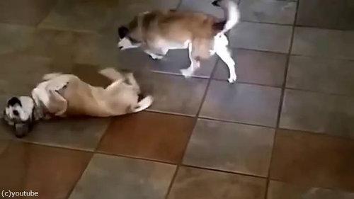 犬が仰向けにくねくね02