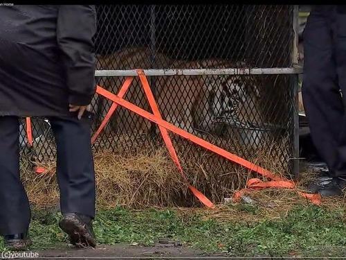 マリファナ集団が空き家に入ったら「虎がいた!」00