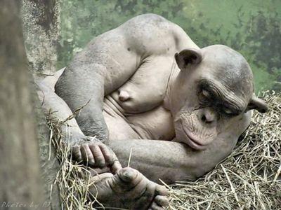 毛が無いチンパンジー02