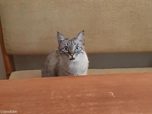 顔でアピールする猫「食べたい」01