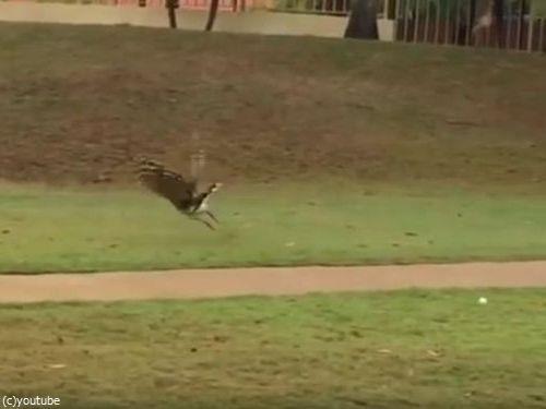 ゴルフボールを拾った鳥08