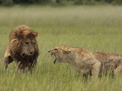 恐妻家のライオン00