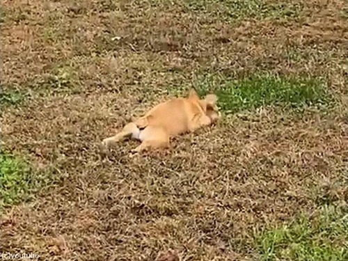 犬の赤ちゃんが追いかけっこの途中でパタリ05