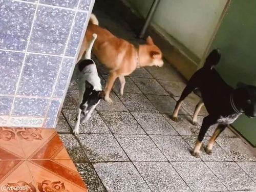 吠えられた犬、仲間を連れて戻ってくる03