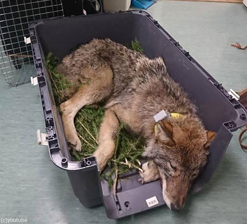 犬を助けたと思ったらオオカミだった03