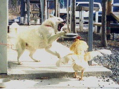 犬がニワトリと本気で戦う01