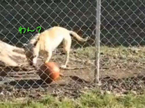 ボール遊びが上手な犬00