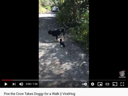犬を散歩させるカラス