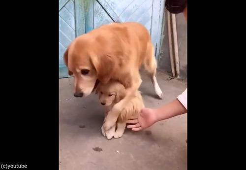 過保護な犬02
