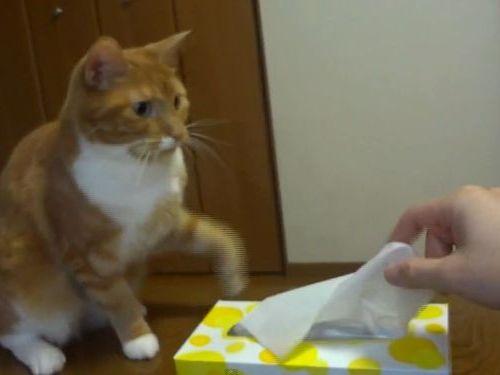 猫が鉄壁のガードでティッシュを使わせてくれない01