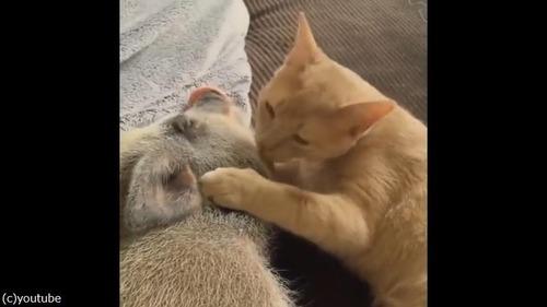 猫がブタにお目覚めのチュウ02