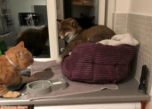 猫のベッドにキツネが堂々と寝転んでいた02