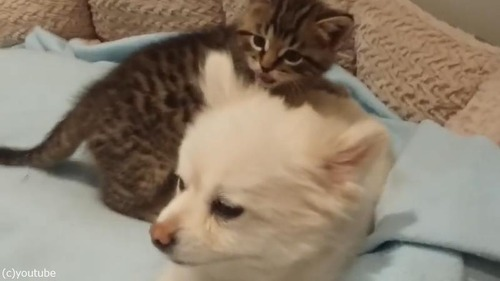 無邪気な子猫の遊びに(仕方なく)付き合うポメラニアン01