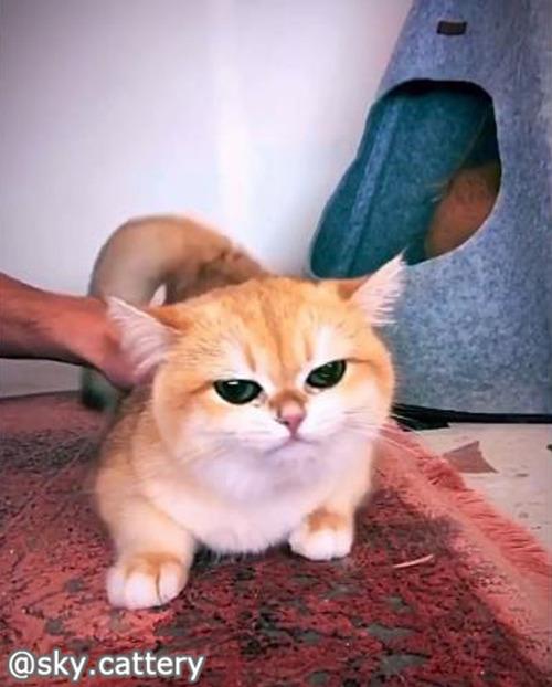個性的な鳴き声がかわいい猫01