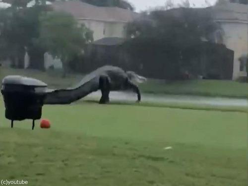 フロリダのゴルフ場に出現したワニ01