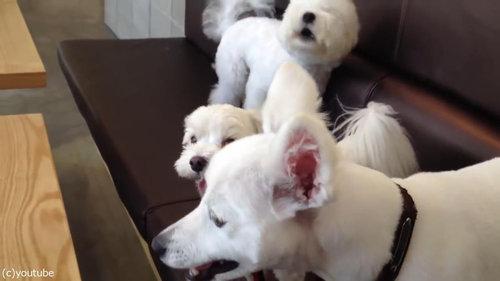 ケンカを始めた犬2匹と仲裁する1匹08