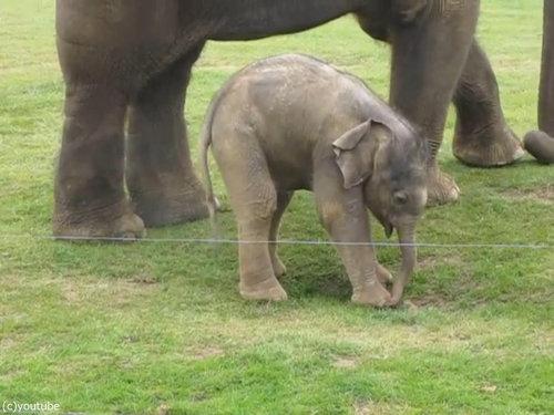 赤ちゃんゾウと鼻03
