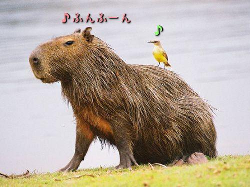 カピバラと他の動物たち00