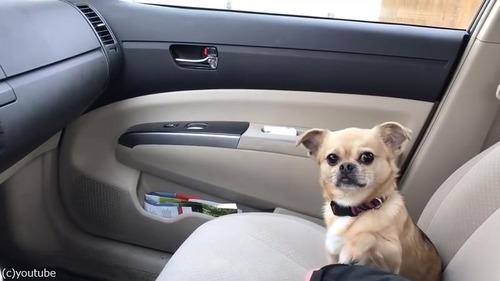 運転しようとする飼い主を止める犬02