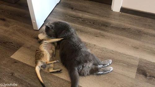 猫を寝かしつけるミーアキャット04