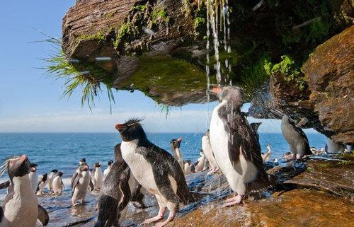 イワトビペンギン02