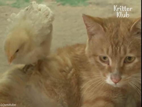 ヒヨコを育てる猫の…パパ03