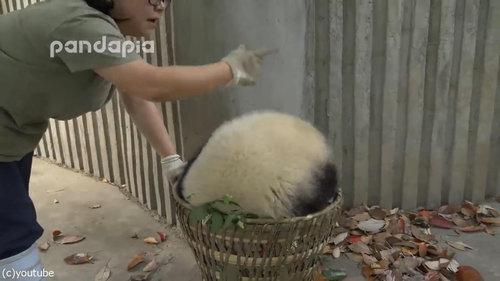 子パンダたちの前で掃き掃除04