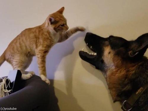 大きさは違えど…子猫と仲良しのシェパード04