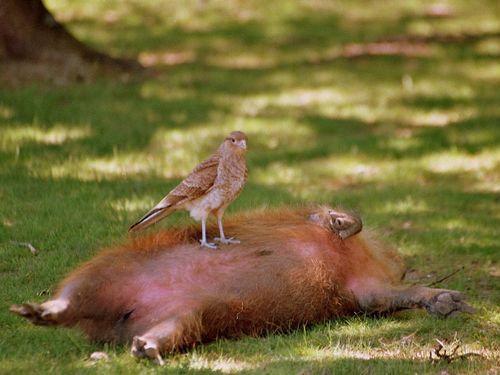 カピバラと他の動物たち11