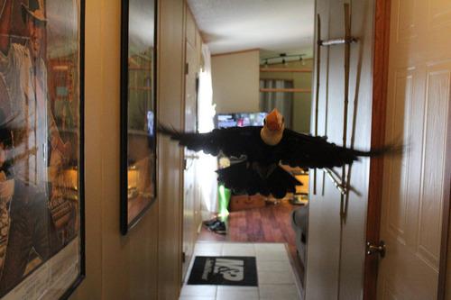 オオハシという珍妙な鳥06