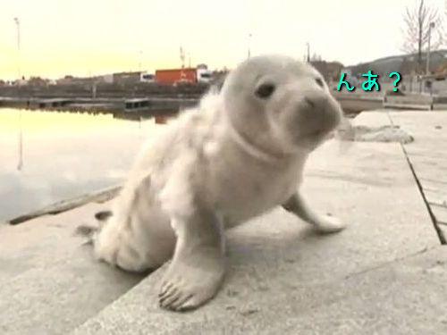スウェーデンの港にアザラシの赤ちゃん00