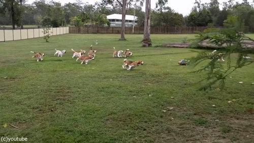 犬とラジコンカーと広い庭07