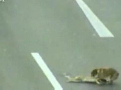 車にはねられた犬を他の犬が救助