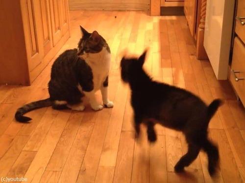 猫に頭突きをしたい赤ちゃんヤギ01