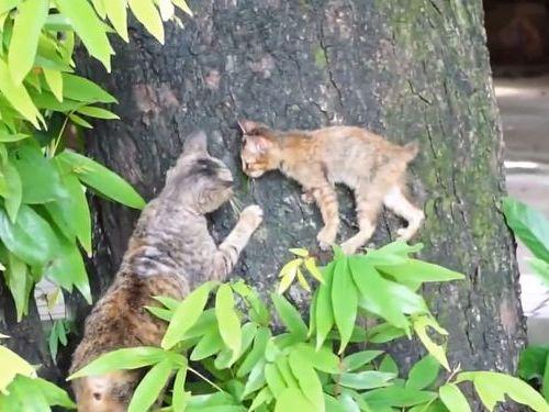 子猫がお母さんと木登り練習01