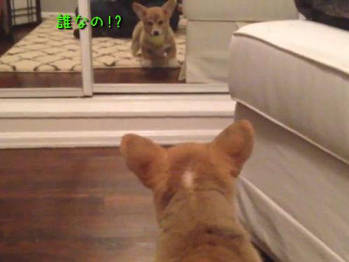 コーギー犬と鏡00