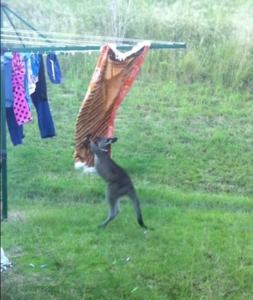 洗濯物とカンガルー07