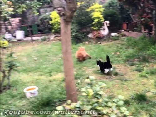 庭に入れさせない猫vs入りたい犬06