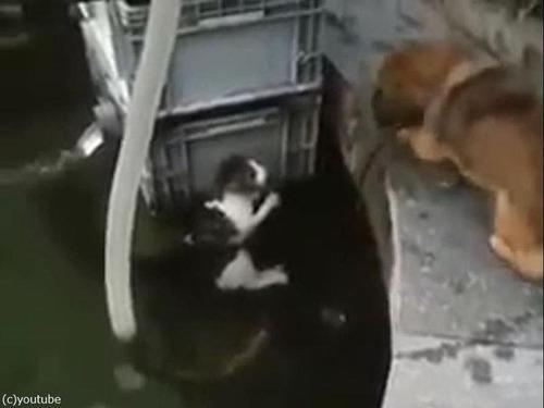 溺れている猫を救出する犬00