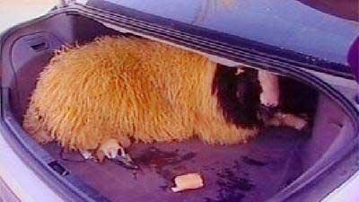 抱き合わせ羊01