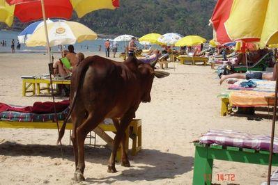 リゾート・ビーチに牛10